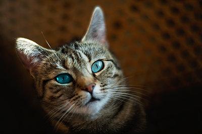 Cat with blue eyes - p1418m1572204 by Jan Håkan Dahlström