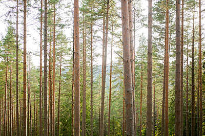 A pine forest - p5754615 by Roine Magnusson
