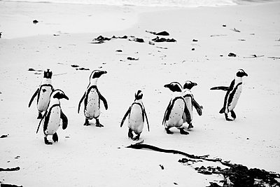 Group of Penguins on Beach - p694m663746 by Maria K