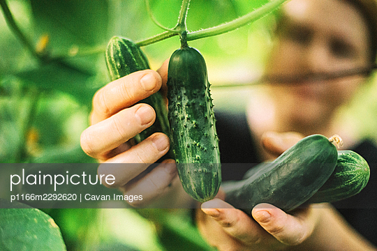 A woman picks a cucumbers from her garden - p1166m2292620 by Cavan Images