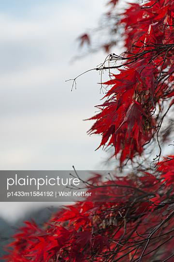 Leuchtend rotes Laub - p1433m1584192 von Wolf Kettler