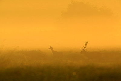 Stag And Deer At Sunrise - p1026m809131f by Romulic-Stojcic