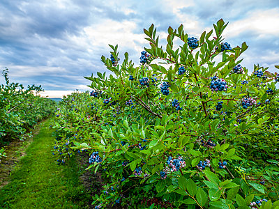 Blueberries ripening on bushes; Nova Scotia, Canada - p442m2091694 by Richard Desmarais