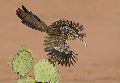 Greater Roadrunner flying with prey, Arizona - p884m1356965 by Alan Murphy/ BIA