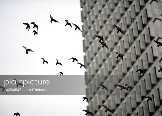 Flock of birds flying next to building. - p4564547 by Jim Erickson