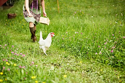 Woman in field chasing white hen - p429m1047062 by Stephen Lux