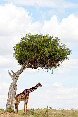 Giraffe under tree - p5330244 by Böhm Monika