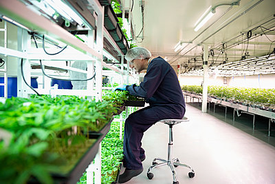 Grower inspecting cannabis seedlings in incubation - p1192m2073885 by Hero Images