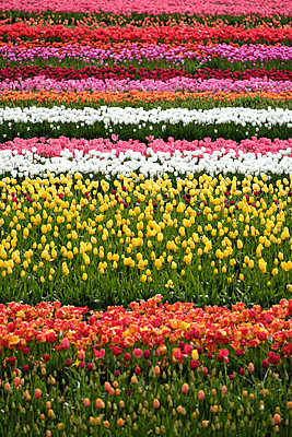 Oregon Tulip Fields - p1262m1286472 by Maryanne Gobble