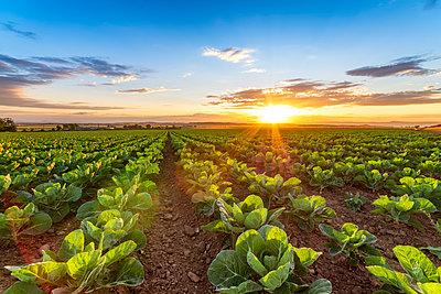 United KIngdom, East Lothian, field of brussels sprouts, Brassica oleracea, against the evening sun - p300m2030258 von Scott Masterton