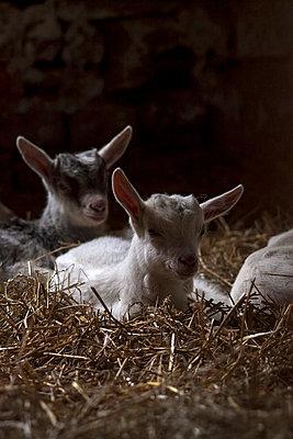 Goats - p7390767 by Baertels