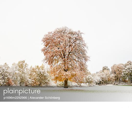 Snowcovered tree in autumn - p1696m2292966 by Alexander Schönberg