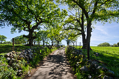 Narrow Tree-Flanked Rural Lane Between Fields - p1562m2288022 by chinch gryniewicz
