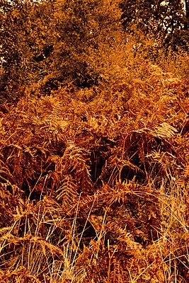 Herbstlicher Farn - p248m859153 von BY