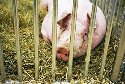 Schwein - p2530284 von Oscar