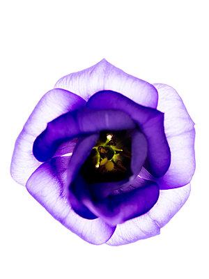 Lisianthus flower - p401m2291092 by Frank Baquet