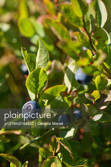 Wild blueberries in Lapland - p1216m2184527 by Céleste Manet