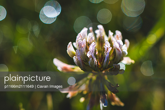 White Clover with Morning Dew Sparkling on it's Petals - p1166m2111649 by Cavan Images