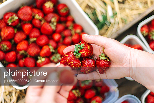 Close up shot of a person hands picking strawberries - p1166m2292640 by Cavan Images