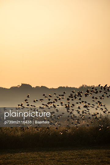 Starling flock in morning fog - p739m2116433 by Baertels