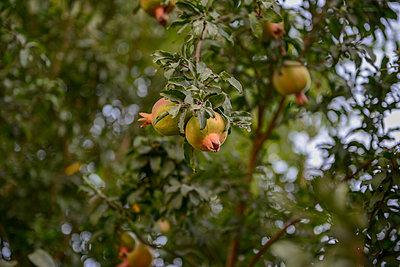 Granatäpfel am Baum - p1267m1514273 von Wolf Meier
