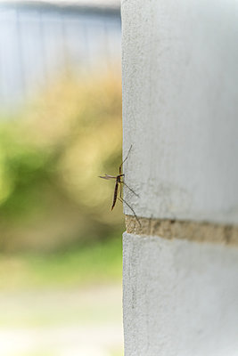 Crane fly on wall - p1402m2212026 by Jerome Paressant