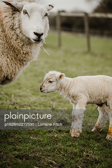 Newborn lambs with their sheep mums - p1628m2272590 by Lorraine Fitch