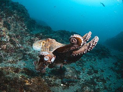 Octopus vulgaris - p1166m2130295 by Cavan Images