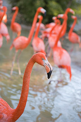 Flock of American Flamingos (Phoenicopterus ruber) - p3013923f by Christina Kennedy