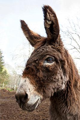 Esel - p781m944393 von Angela Franke