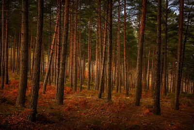 Pine trees on a moody fall landscape with red and orande colors - p1166m2269201 by Cavan Images