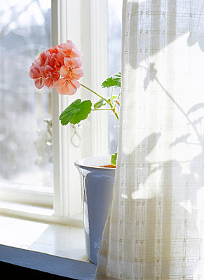 A flower by a window Sweden - p5280076f by Elliot Elliot