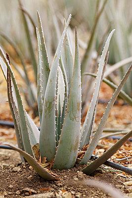 Cultivation of Aloe vera I - p606m885561 by Iris Friedrich
