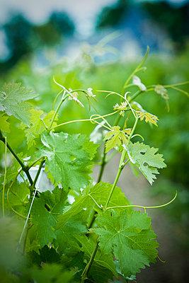 Grapevine, close up - p623m1125449f by Isabelle Rozenbaum