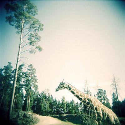Giraffe Crossing The Road - p6943141 by Mattias Lindbäck