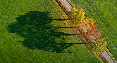 Row of autumn trees and their shadows in field, Netherlands - p429m2058260 by Mischa Keijser