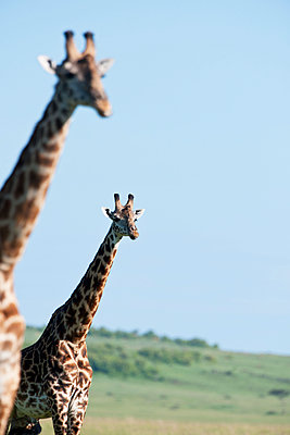 Two giraffes - p533m1120350 by Böhm Monika