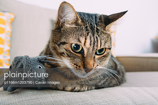 Close-up of tabby cat with toy rat relaxing on sofa at home