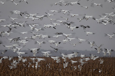 Snow Geese blast off from a field - p1480m2148242 by Brian W. Downs