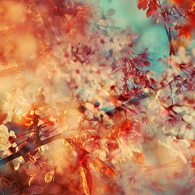 Twigs and white blossoms, multiple exposure - p1640m2245920 by Holly & John