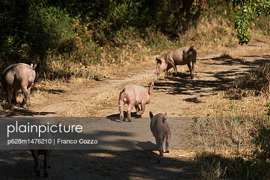 Schweine auf einem Feldweg - p628m1476210 von Franco Cozzo