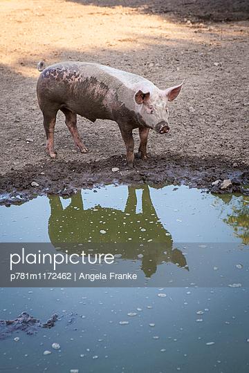 Schwein artgerecht gehalten - p781m1172462 von Angela Franke