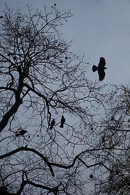 Crows - p1028m1503865 von Jean Marmeisse