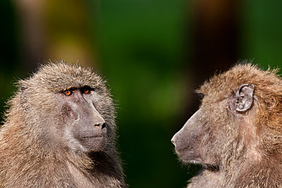 Two baboons - p533m1152662 by Böhm Monika