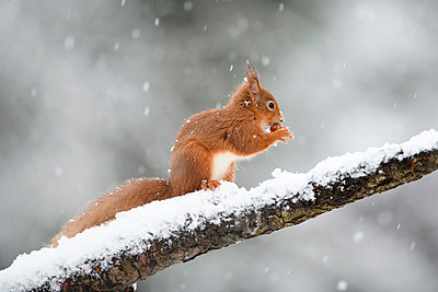 Eurasian red squirrel with hazelnut on snow-covered tree trunk - p300m2167420 by Mark Johnson