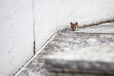 Maus  - p1078m2288668 von Frauke Thielking