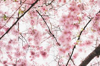 Almond blossoms - p1184m1008109 by brabanski
