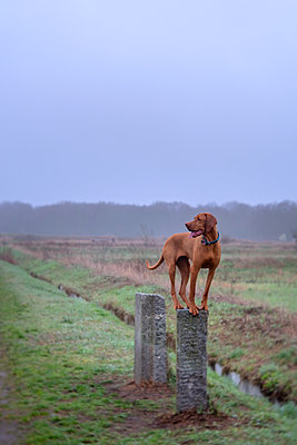 Viszla dog on Spandau irrigation fields - p739m2077206 by Baertels