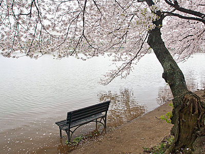 Cherry blossoms and Tidal Basin, Washington, DC, United States of America, North America - p871m2152461 by Melissa Kuhnell