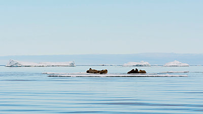 Atlantic walrus (Odobenus rosmarus) lying on iceberg, distant view, Vibebukta, Austfonna, Nordaustlandet, Svalbard, Norway - p429m2074809 by Delta Images